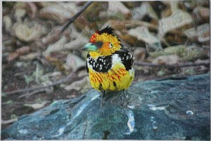 Crested Barbet Full